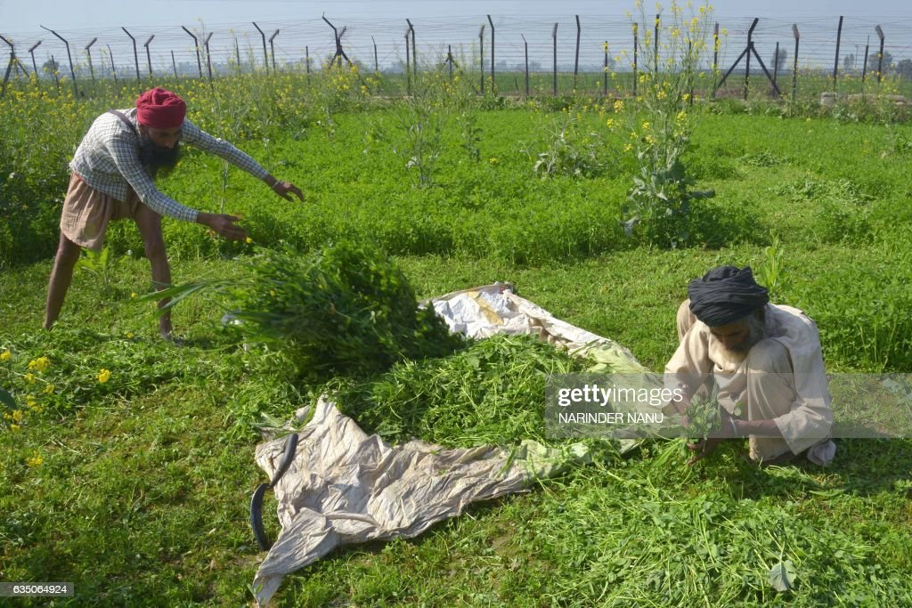 In this photograph taken on February 7 Indian farmer Lakhwinder Singh with his son Gurnam Singh harvest fodder for their cattle in a field beside the.