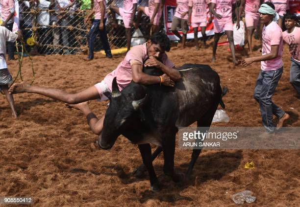 In this photograph taken on January 15 Indian participants try to control a bull during the annual 'Jallikattu' bulltaming festival in the village of...