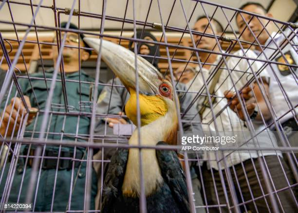 In this photograph taken on July 13 2017 Indonesian officials surround a cage containing a hornbill bird in Sidoarjo East Java province Indonesian...