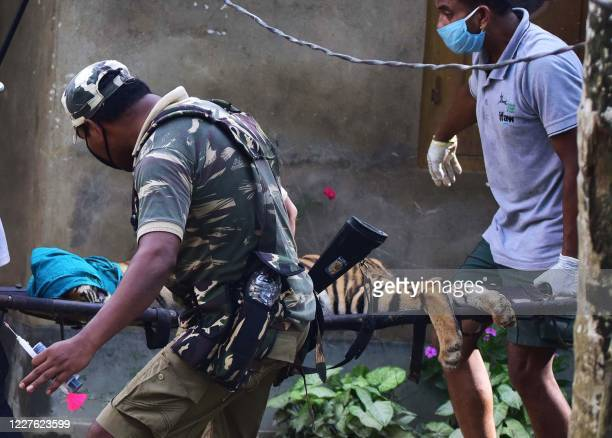 In this photograph taken on July 15, 2020 forest officials carry a tranquillized tiger on a stretcher after it strayed out from Kaziranga National...