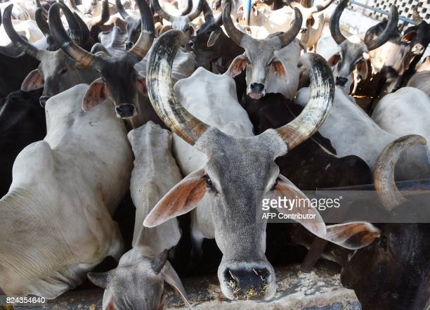 In this photograph taken on July 19 2017 cows look on at the 'Sri Krishna Gaushala' in Bawana a suburb of the Indian capital New Delhi Revered by...