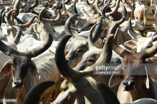 In this photograph taken on July 19 cows gather together at the 'Sri Krishna' cow shelter in Bawana a suburb of the Indian captial New Delhi Revered...
