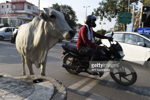 In this photograph taken on July 20 2017 a cow stands amidst the traffic on a road in New Delhi Revered by most Indians cows are at the centre of...