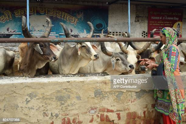 In this photograph taken on July 23 2017 a woman feeds cows at the 'Sri Krishna' cow shelter in Bawana a suburb of the Indian capital New Delhi...