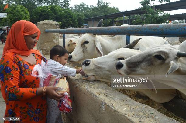 In this photograph taken on July 23 2017 an Indian devotee and her son feed cows at the 'Sri Krishna' cow shelter in Bawana a suburb of the Indian...