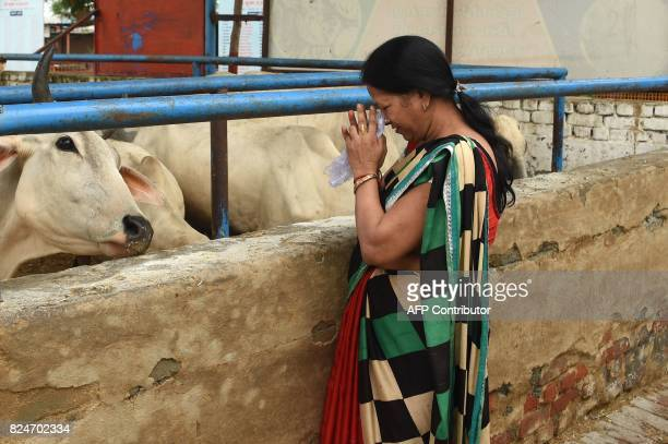 In this photograph taken on July 23 2017 an Indian devotee prays to cows at the 'Sri Krishna' cow shelter in Bawana a suburb of the Indian capital...