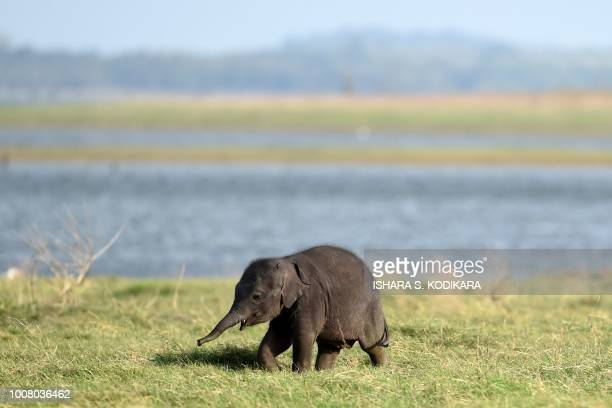 In this photograph taken on July 30 a Sri Lankan baby elephant walks in Kaudulla national park in Habarana The Sri Lankan elephant is one of three...