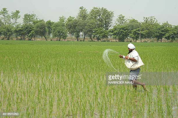 In this photograph taken on July 8, 2014 Indian farmer Ranjit Singh throws fertiliser on his rice paddy field on the outskirts of Amritsar. India's...