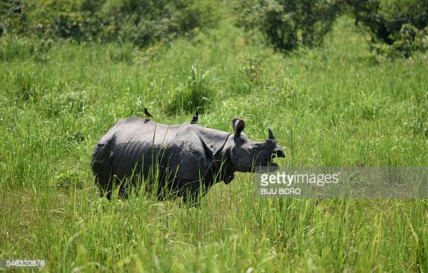 In this photograph taken on June 2 an Indian onehorned rhino grazes in Kaziranga National Park some 250kms east of Guwahati As night falls over the...