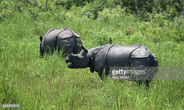 In this photograph taken on June 2 Indian onehorned rhinos graze in Kaziranga National Park some 250kms east of Guwahati As night falls over the lush...