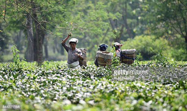 In this photograph taken on June 3 Indian tea plantation workers pick leaves in a tea garden in Kaziranga, some 250kms east of Guwahati. Analysts say...