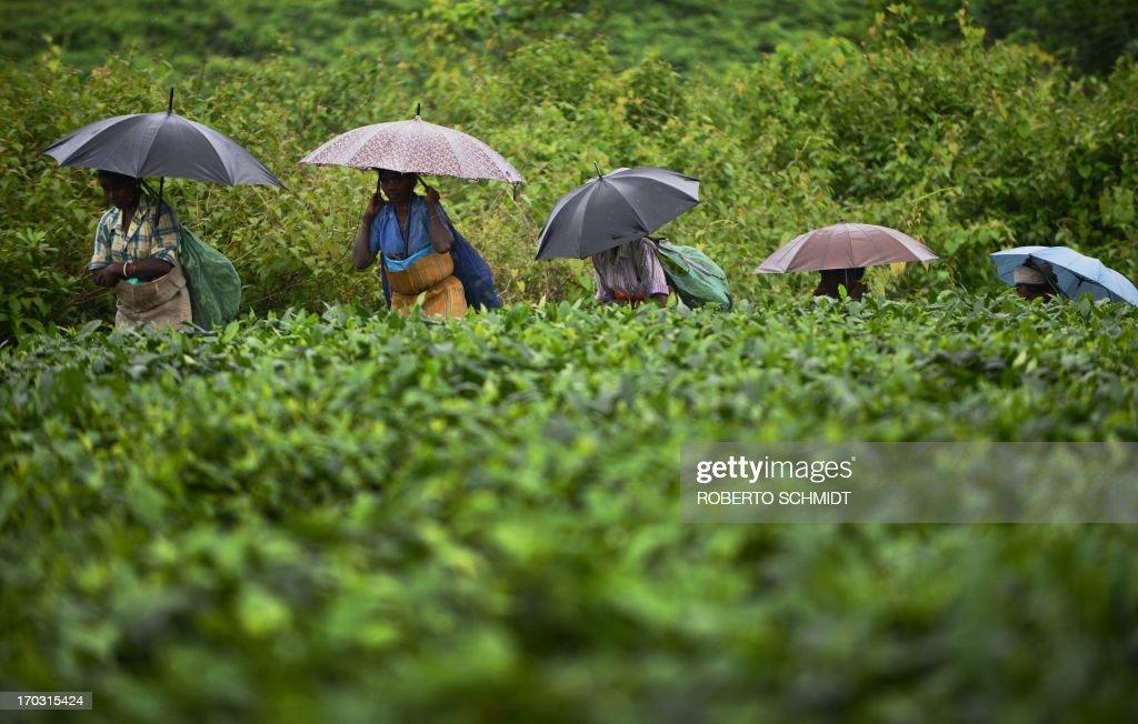 INDIA-ECONOMY-AGRICULTURE-TEA : News Photo