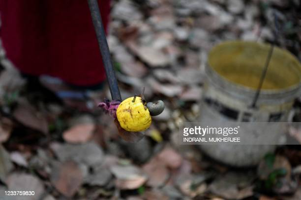 In this photograph taken on March 13 a worker harvests ripe cashew apples at a farm belonging to the Madame Rosa distillery in Pilerne in North Goa....
