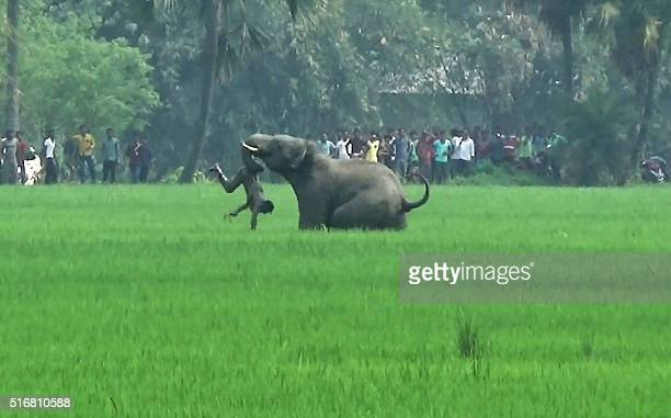 In this photograph taken on March 20 an elephant attacks an Indian resident in a field in Baghasole village in Burdwan district of West Bengal state...