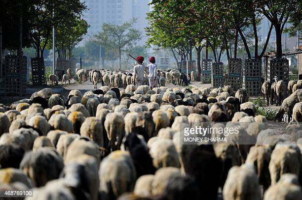 In this photograph taken on March 22 Indian nomadic shepherds lead their sheep along a road on the outskirts of Faridabad some 30 kms from New Delhi....