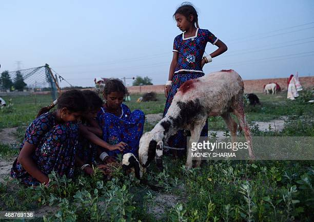 In this photograph taken on March 24 the children of Indian nomadic shepherds Sunder Mansa Jheene and Kaali watch over a newborn sheep at their camp...