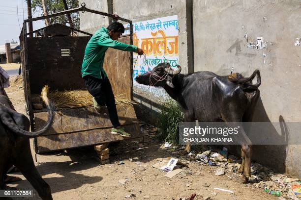 In this photograph taken on March 25 an Indian man unloads a buffalo near an abattoir in Meerut A zealous campaign to protect cows considered sacred...