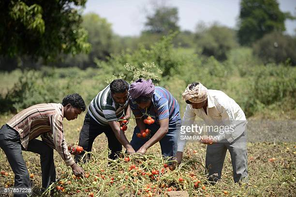 In this photograph taken on March 27 Indian farmers Kalidas DevipujakManubhai Talpadaand Navghanbhai Talpadaare joined by a colleague as they pluck...