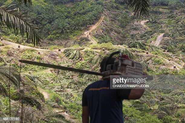 In this photograph taken on March 29 illegally planted palm oil trees occupying a 200 hectare area within the protected Leusur Ecosystem in Aceh...