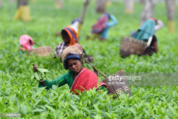TOPSHOT In this photograph taken on March 30 Indian tea plantation workers pick leaves at a tea garden in Gohpur some 299 kms from Guwahati in the...