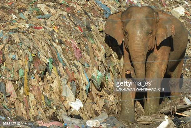 In this photograph taken on May 11 a wild elephant rummages near an electric fence through garbage dumped at an open ground in the village of...