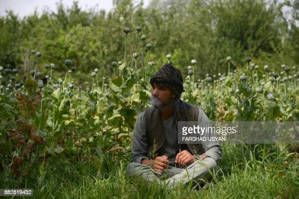 In this photograph taken on May 11 an Afghan labourer takes a break while working in a poppy field on the outskirts of MazariSharif New motorbikes...