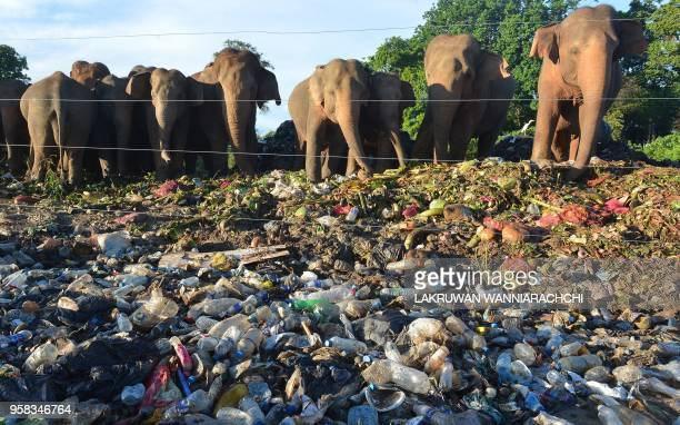 In this photograph taken on May 11 wild elephants rummage near an electric fence through garbage dumped at an open ground in the village of...