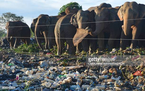In this photograph taken on May 11 wild elephants rummages near an electric fence through garbage dumped at an open ground in the village of...