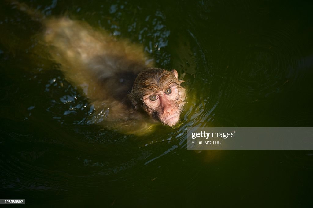 In this photograph taken on May 4, 2016, a monkey takes a dip in a pool of water in Yangon zoo enclosure while summer temperature rise. Latest media reports indicates parts of the country experiencing partial drought while temperatures hit over 40 degrees celsius in certain areas of Myanmar. The Meteorology and Hydrology Department has predicted that Myanmar will experience drought and record high temperatures following the effects of El Ni��o in March, April and May. / AFP / YE