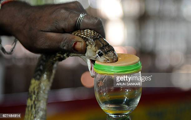 In this photograph taken on November 11 an Indian snakecatcher extracts venom from a cobra at the venom extraction center of the Irula snakecatchers...