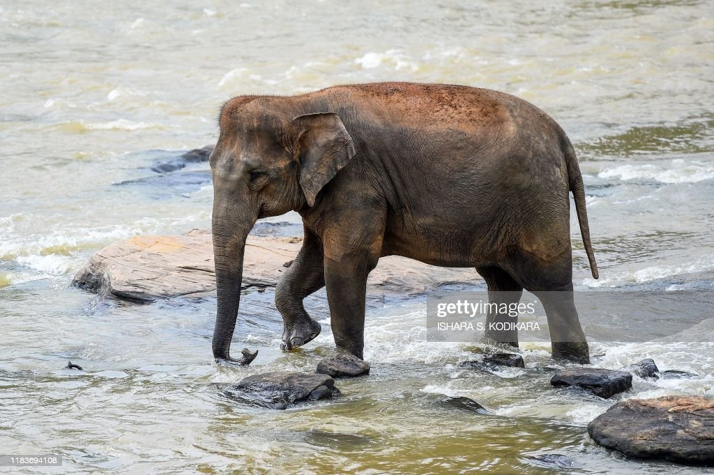 SRI LANKA-ANIMAL-ELEPHANT : News Photo