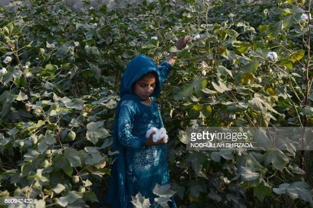 In this photograph taken on October 12 2017 an Afghan girl harvest cotton on their family's farm on the outskirts of Jalalabad / AFP PHOTO /...
