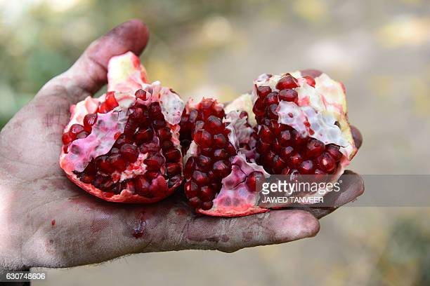 In this photograph taken on October 25 an Afghan fruit vendor displays a ripe pomegranate on a farm in Kandahar Frosty relations between Kabul and...