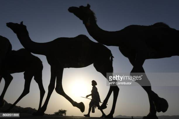 TOPSHOT In this photograph taken on October 26 an Indian camel owner walks with his livestock during sunset at the Pushkar Camel Fair in Pushkar in...