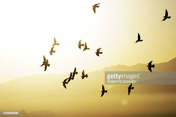 In this photograph taken on October 3 a flock of domesticated pigeons belonging Ahmad an Afghan man who lives in the hill side neighbourhood of Jamal...