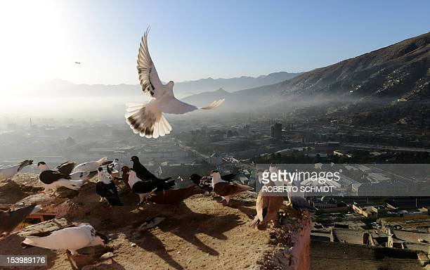 In this photograph taken on October 3 white pigeon spreads its wings as it come in for a landing on the coop owned by Ahmad an Afghan man who lives...