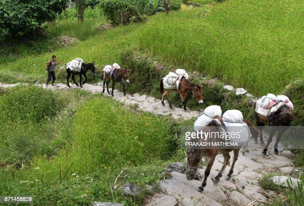In this photograph taken on October 8 mules carry goods along a restored trail in Dhading some 100km northwest of Kathmandu Lapa a village in Dhading...