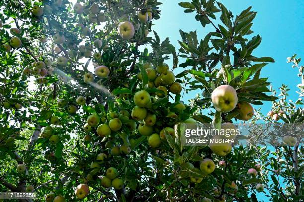 In this photograph taken on September 12 apples are ready to be harvested in an orchard in Shopian district of southern Kashmir valley Farmers in...