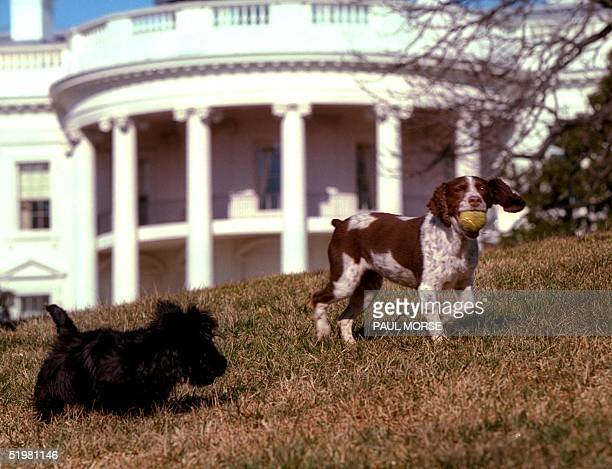 In this picture released 31 January 2001 by the US White House Barney a Scottish terrier and Spot a English Springer Spaniel play on the south lawn...