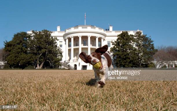 In this picture released 31 January 2001 by the US White House Spot a English Springer Spaniel play on the south lawn of the White House 23 January...