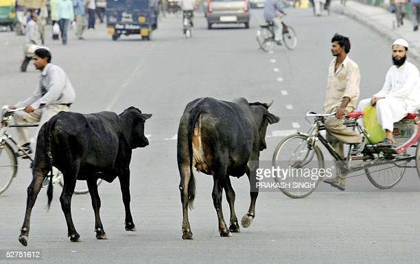 WITH INDIAANIMALSCATTLE In this picture taken 02 May 2005 stray cows cross a traffic intersection in New Delhi Hundreds of municipal workers have...