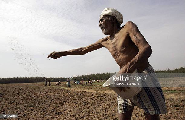 WITH WTOINDIATRADE In this picture taken 30 November 2005 an Indian farmer sprinkles fertilizer in his field near Cuddalore some 185 kms south of...