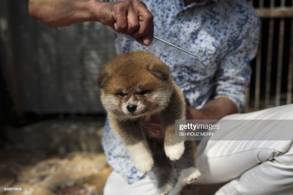 In this picture taken on April 3, 2018 Japanese Akita dog breeder Osamu Yamaguchi combs a one-month-old Akita puppy at his centre in Takasaki, Gunma prefecture