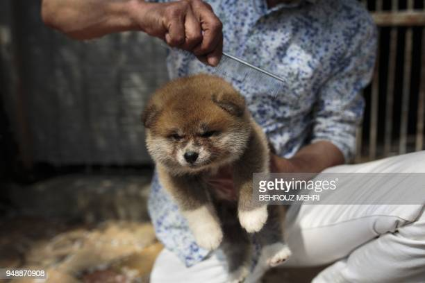 In this picture taken on April 3 2018 Japanese Akita dog breeder Osamu Yamaguchi combs a onemonthold Akita puppy at his centre in Takasaki Gunma...