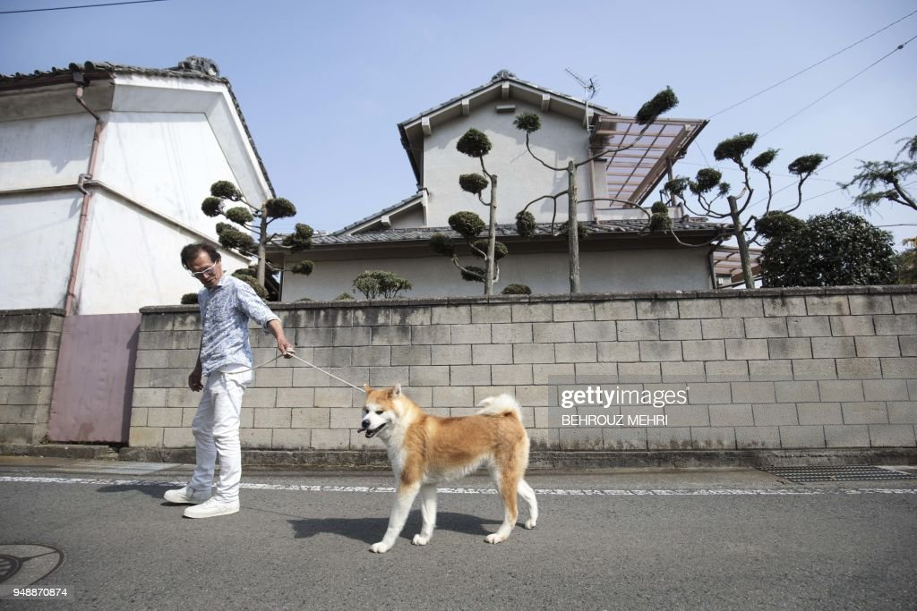 In this picture taken on April 3, 2018 Japanese Akita dog breeder Osamu Yamaguchi walks his dog Akane on a street in Takasaki, Gunma prefecture. - Hollywood actor Richard Gere, French film star Alain Delon and Russia's figure skating sensation Alina Zagitova have one thing in common: They adore Japan's Akita dogs. (Photo by Behrouz MEHRI / AFP) / TO GO WITH AFP STORY 'JAPAN-ANIMAL-DOGS-AKITA' BY