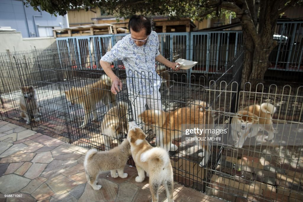 In this picture taken on April 3, 2018 Japanese Akita dog breeder Osamu Yamaguchi cleans kennels at his centre in Takasaki, Gunma prefecture. - Hollywood actor Richard Gere, French film star Alain Delon and Russia's figure skating sensation Alina Zagitova have one thing in common: They adore Japan's Akita dogs. (Photo by Behrouz MEHRI / AFP) / TO GO WITH AFP STORY 'JAPAN-ANIMAL-DOGS-AKITA' BY