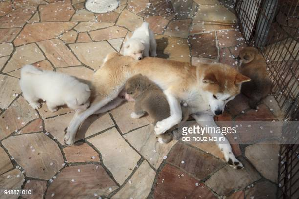 In this picture taken on April 3 2018 Rika an Akita dog feeds her puppies at a breeding centre in Takasaki Gunma prefecture Hollywood actor Richard...