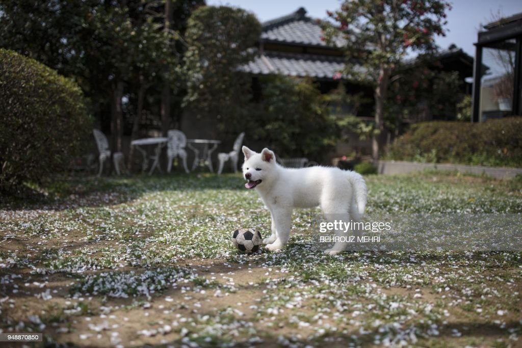 In this picture taken on April 3, 2018 Yukine, an Akita puppy, plays with a ball at a dog breeding centre in Takasaki, Gunma prefecture. - Hollywood actor Richard Gere, French film star Alain Delon and Russia's figure skating sensation Alina Zagitova have one thing in common: They adore Japan's Akita dogs. (Photo by Behrouz MEHRI / AFP) / TO GO WITH AFP STORY 'JAPAN-ANIMAL-DOGS-AKITA' BY
