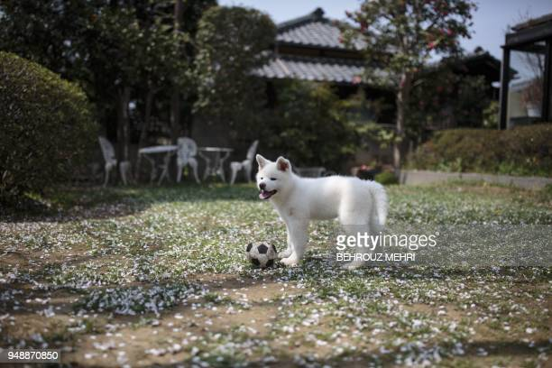 In this picture taken on April 3 2018 Yukine an Akita puppy plays with a ball at a dog breeding centre in Takasaki Gunma prefecture Hollywood actor...