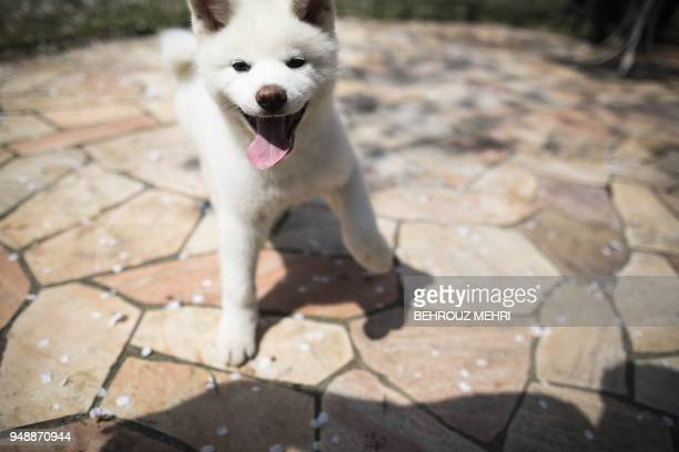 In this picture taken on April 3 2018 Yukine an Akita puppy plays at a dog breeding centre in Takasaki Gunma prefecture Hollywood actor Richard Gere...